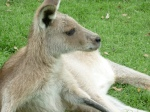 Kangaroo at Lone Pine sanctuary