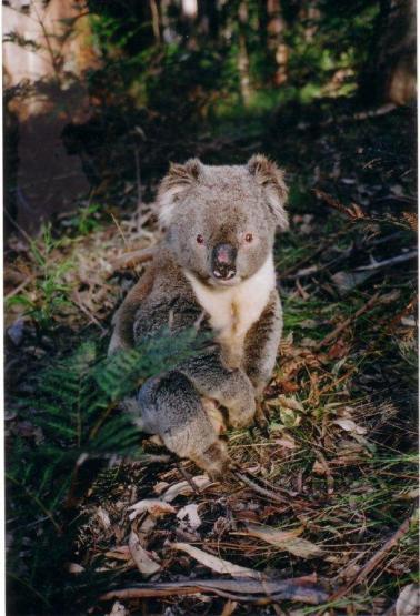 koala 1_tmp melbourne foe vic koala