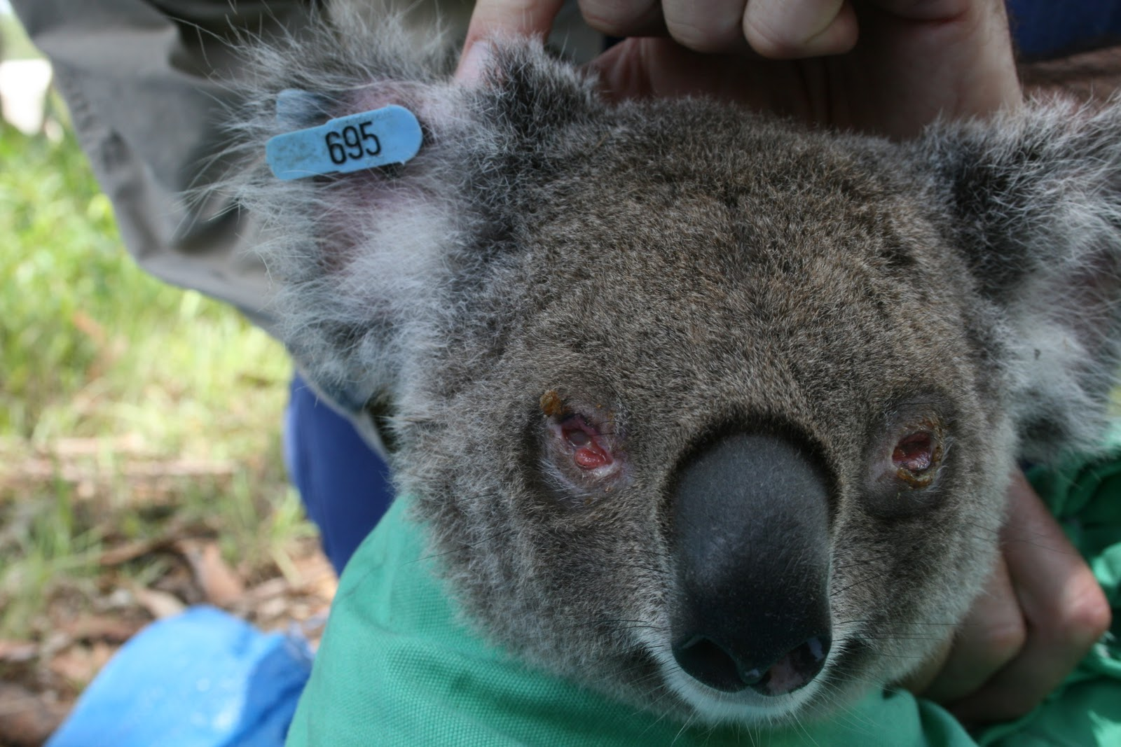 Scientists Announce Koala Vaccine Breakthrough Changing