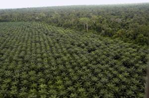 oil-palm-plantation-vl