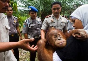 rescued orphan orangutan