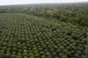 palm oil oil-palm-plantation-vl