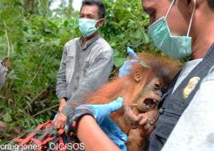 mother and baby orang enhanced-13895-1424444355-16
