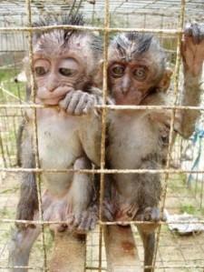 Macaques in Pramuka market in Jakarta