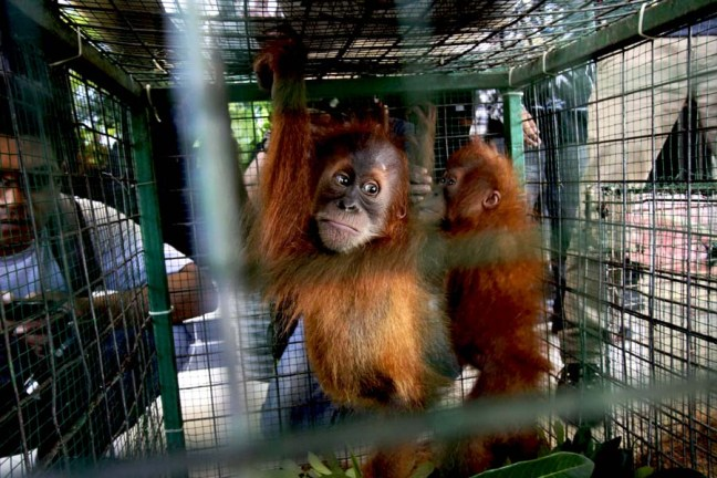 These baby orangutans were confiscated from a trafficker in Aceh in August. Photo by Junaidi Hanafiah