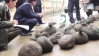 Customs-officers-in-Vietnam-with-more-than-100-live-pangolins-seized-from-smugglers-in-December-2012 EIA