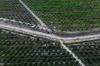 IOI oil palm plantation