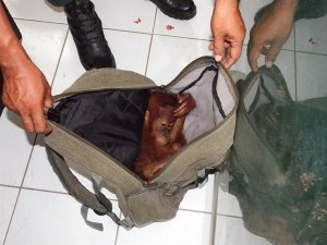 Orangutan trafficking in North Sumatra photo courtesy of the Wildlife Conservation Society, Indonesia.